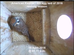 Kestrel - Fourth Egg Laid of 2016 Nest Season (Darin Ziegler) Tags: urban colorado nest coloradosprings americankestrel nestbox sparrowhawk falcosparverius vivotekfd8151vnetworkcamera