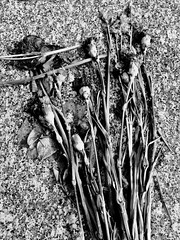 Offering on Granite (Broot - Thanks for a half million views!!) Tags: blackandwhite bw plant paris flower monochrome cemetery grave spring memorial mourning tomb offering april tribute montparnasse grief