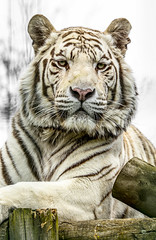 IMG_8729 (jezbags) Tags: nature animals zoo wildlife tiger tigers whitetiger pwp