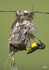 Olive-Backed Sunbird feeding young (Knotty_Bug) Tags: nest young chick 300mm d750 f28 sunbird