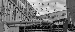 Flock of Pigeons (www.yravaryphotoart.com) Tags: blackandwhite bw bird monochrome canon noiretblanc montreal pigeons pssaro aves nb pajaro industrie oiseau passaro industries pjaro flockofpigeons canoneos7d yravary yravaryphotoart