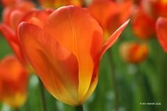 Tulpen im Sonnenschein ... (mo_meede) Tags: orange macro eos licht hamburg pflanzen blumen april makro sonne garten farbig heute regen bunt zeit frhling tulpen gestern blten hintergrund sonnenschein 2016 blumenbeet tiefenschrfe 70d canon curslack drausen digital mo mos fotogarten meede cannon70d