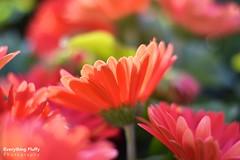 DSC_0034 (Fluffphoto) Tags: flowers sunset sunlight golden lowes