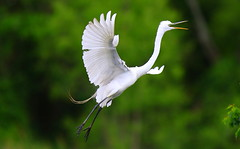 final approach (Shelby Townsend) Tags: egret greategret highisland