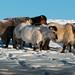 Lindos cavalos do frio