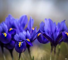 Wilder Krokus (roland_lehnhardt) Tags: flowers blue light shadow licht spring bokeh pflanze blumen schatten frhling schrfentiefe krokusse iridaceae magnoliopsida tiefenbach asparagales naturemasterclass beyondbokeh spermatophytina