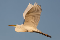Great White Egret in Flight- (Don Burkett) Tags: nature birds animal fauna canon florida outdoor wildlife birdsinflight southflorida greatwhiteegret dlsr wakodahatcheewetlands donburkett 100400mii ef100400f4556liiusm dtburkett