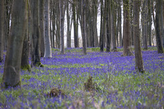 The clearest way into the Universe is through a forest wilderness (HHH Honey) Tags: blue trees bluebells forest landscape ancient woods wildflowers wiltshire wildflower marlborough johnmuir 56 savernake savernakeforest bluebellgrove sony70300g sonya7rii 116picturesin2016 56illustrateawellknownquote