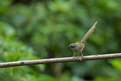 Hill_Prinia_N81_1604 (Niklas_N) Tags: china bird nature nikon wildlife yunnan kina fglar nikkorafs500mmf4edvr