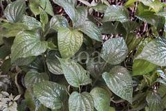 H504_3171 (bandashing) Tags: england plant green leaves garden manchester leaf vine foliage sylhet bangladesh climbers socialdocumentary paan stimulant betelleaf aoa piperbetle bandashing akhtarowaisahmed