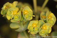 Euphorbia sp. (Lus Gaifm) Tags: flower macro planta nature natureza flor euphorbia plantae restinga fo lusgaifm pnlitoralnorte