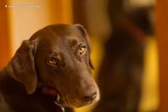 Eye on Me (KB RRR) Tags: dog colorado rockymountains frontrange chocolatelabrador shyla