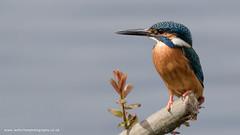 Kingfisher (ian hufton photography) Tags: bird kent wildlife kingfisher ianhufton