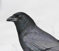 The Crow (Jeannine St. Amour) Tags: bird nature wildlife crow