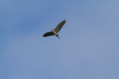 Grey Heron (wheelcorner) Tags: heron canon grey 300mm 7d reiher graureiher
