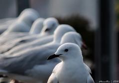Silvergulls at Fishermens Wharf (Merrillie) Tags: seagulls nature birds animals fauna nikon bokeh wildlife gulls australia coolpix woywoy silvergull p600 nswcentralcoastnsw centralcoastnsw
