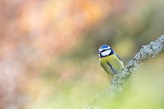 Rverie. (SweeP_64) Tags: blue macro bird tit bokeh flare cyrille oiseau rverie msange masseys proxi 6ril