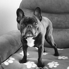 01-01-16 (2259) Happy New Year (Lainey1) Tags: leica bw dog monochrome oz bulldog frenchie frenchbulldog 365 ozzy frogdog 2259 lainey1 zendog leicadlux4 010116 elainedudzinski ozzythefrenchie theseventhyear 2259oz