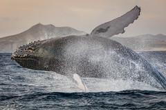 Splash Down (jeff_a_goldberg) Tags: mexico pacificocean bajacalifornia whale baja bajacaliforniasur mx humpbackwhale cabosanlucas megapteranovaeangliae