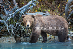 Coastal Brown Bear 092114-1-W.jpg (RobsWildlife.com  TheVestGuy.com) Tags: bear travel wild nature alaska canon outdoors photography wildlife fineart professional adventure anchorage grizzly wilderness custom anc epic wildlifephotographer alaskan brownbear americanmade animalart wildanimals grizzlybear animalprints 2014 crescentlake redoubt travelphotography canoncamera wildlifeart rml wildlifephotography redoubtlodge lakeclarknationalpark redoubtmountainlodge chigmitmountains alaskausa wildalaska alaskawild alaskaadventure usamade coastalbrownbear wildlifeprints thevestguy robdaugherty thevestguycom robswildlifecom robswildlife robertdaugherty 8016989080 usaquality 092114 epicwildlifeadventures northernaleutianrange robswildlifecom 2014robswildlifecom thevestguycom alasktourism