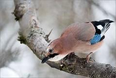 Eichelhher, Glarrulus glandarius (Weinstckle) Tags: garrulusglandarius rabenvogel eichelhher
