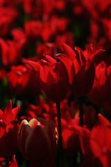 20151226-DSC_5500.jpg (d3_plus) Tags: park street winter sea sky plant flower beach nature japan garden 50mm nikon scenery tulip bloom  streetphoto enoshima nikkor   seashore kanagawa      50mmf14  thesedays      50mmf14d  nikkor50mmf14     afnikkor50mmf14  d700 nikond700 aiafnikkor50mmf14  nikonaiafnikkor50mmf14