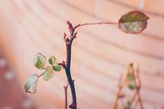 DSC_5299 (Peste Razor) Tags: red plant brick muro green colors leaves rose wall foglie 35mm nikon bokeh magenta rosa pot tones vaso pianta mattoni
