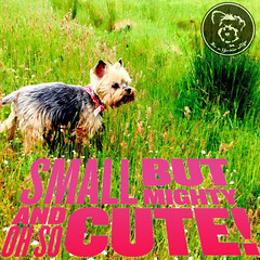 Good things come in tiny packages (itsayorkielife) Tags: yorkie quote yorkshireterrier yorkiememe