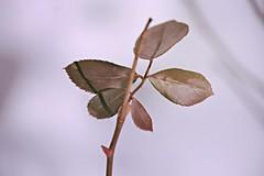 rose bush leaves ~ HBW! (karma (Karen)) Tags: snow home dof bokeh maryland baltimore blizzard rosebush hbw bokehwednesdays