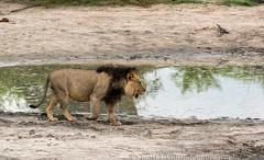 Adult Male Lion at Waterhole, Okavango Delta, Botswana (chasingthelight10) Tags: africa travel nature photography landscapes wildlife events lion places things botswana gomotisafaricamp