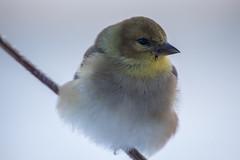 Chardonneret-2647 (boudrod) Tags: bird yellow outside nikon d750 oiseau chardonneret