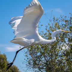 RanchoSanJoaquinWildlife-3 (rskim119) Tags: ca white bird nature animal flying nikon san outdoor wildlife great off joaquin take marsh tamron egret sanctuary irvine rancho 70300 irwd d3300