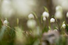 Mrzenbecher (Leucojum vernum) (Chris Nature) Tags: flower nature forest spring bokeh grn blume wald frhling leucojum weis frhjahrsblher vernum auwald naturfotographie