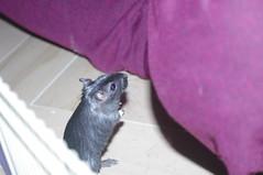 timida (conforti.pietro) Tags: animals gerbil rodents animale gerbillo