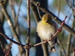 Chardonneret Goldfinch (ChapOLisa) Tags: bird goldfinch oiseau chardonneret