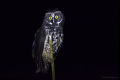 Mocho-diabo (Asio stygius) (fabsciack) Tags: brazil brasil pássaro ave owl coruja noite santacatarina asio mocho stygianowl asiostygius fraiburgo mochodiabo avenoturna asiosp