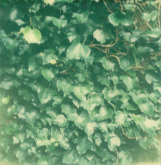 wall of leaves ({ sitting on rooftops }) Tags: green leaves polaroid beautyintheordinary theimpossibleproject