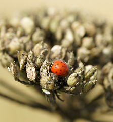 Harlequin Ladybird (Annette Rumbelow) Tags: depthoffield spots ladybird spotted harlequin macroshots annetterumbelowwilson