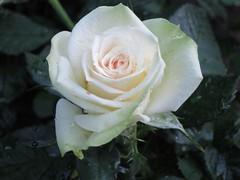 White Rose (Ralf Lindgren) Tags: white flower rose blume weiss weis