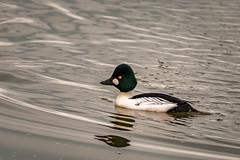 MaleGoldeneye (jmishefske) Tags: male club duck nikon yacht lakemichigan february common goldeneye 2016 oakcreek southmilwaukee d800e