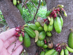 starr-130221-1599-Averrhoa_bilimbi-fruit_and_flowers-Waihee-Maui (Starr Environmental) Tags: averrhoabilimbi