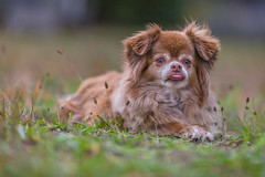 0G4H5315 (sswee38823) Tags: dog pet chihuahua animal canon outdoor longhair depthoffield honey canonef135mmf2lusm ef135mmf2lusm canoneos1dsmarkiii canon1dsmarkiii