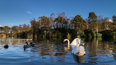 California Country Park (Unintended_Keith) Tags: trees lake geese ducks bluesky swans ultrawideangle californiacountrypark canon7dmkii canonefs1018mmstm