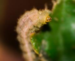 28122015-DSC_0231.jpg (Fernanda23 B) Tags: naturaleza insectos verde planta plantas cara gusano hola comiendo insecto carita viota caritafeliz caritasonriente