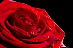 Valentine's Day (w.lichtmagie) Tags: macro love rose photoshop heart cc makro herz liebe focusstack canonefs60mm strobist strobistinfo