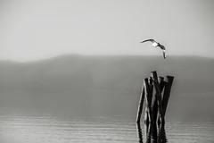 zen (duegnazio) Tags: blackandwhite bw canon lago bn acqua gabbiano biancoenero lazio 2016 40d duegnazio