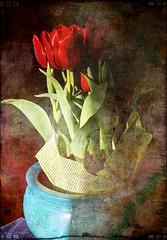 alive on this fresh morning (eepeirson) Tags: tulips maryoliver lightanddark redtulips brokenworld txeeppixlr aliveandfresh