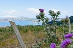 Bee on thistle Aramoana (claudy75) Tags: travel nature view bees thistle insects nz southisland aotearoa aramoana