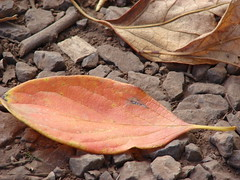 starr-061225-2928-Diospyros_kaki-fall_colors_leaves_on_ground-Olinda-Maui (Starr Environmental) Tags: diospyroskaki