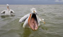 Dalmatian Pelicans (pas.sionphoto) Tags: